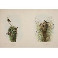 Marsh Wren. / Nuttall's Lesser Marsh Wren