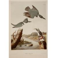 Belted Kingsfisher