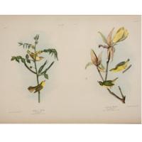 Children's Warbler. / Kentucky Warbler