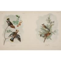 Bohemian Chatterer / Cedar Bird