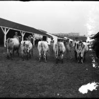 Cows at the New England Fair